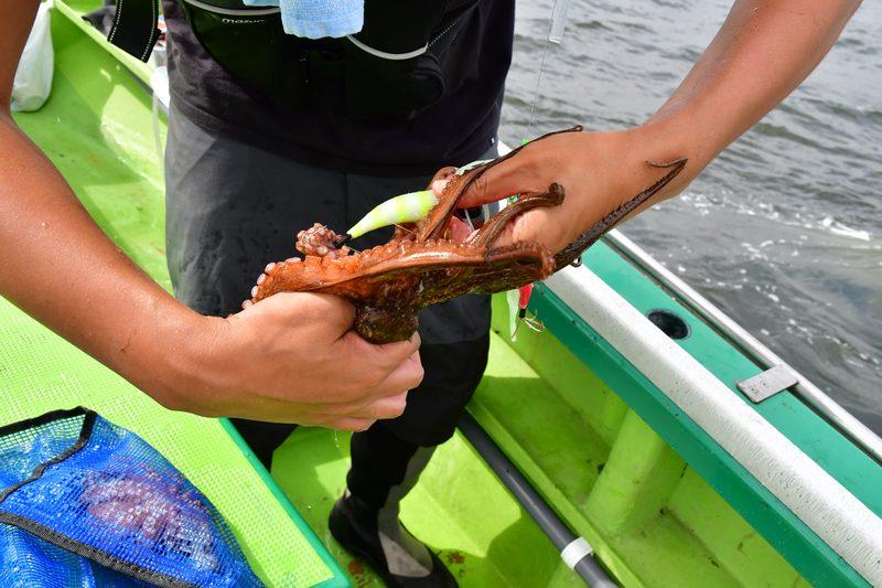 【東京湾の餌木タコ(エギタコ)入門】タコの首根っこをつかんで