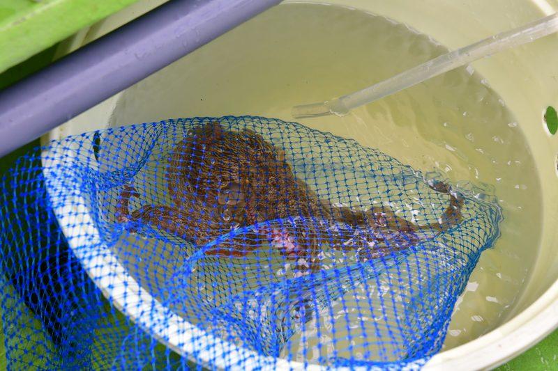 【東京湾の餌木タコ(エギタコ)入門】バケツにネットごと入れる