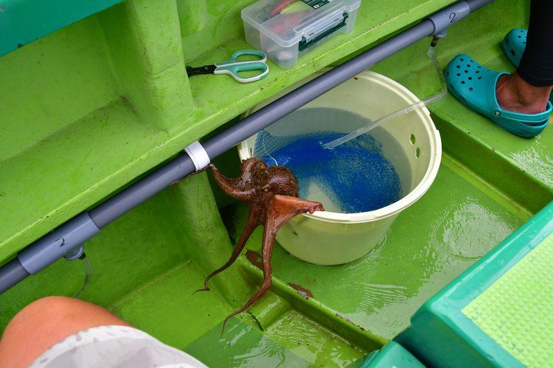 【東京湾の餌木タコ(エギタコ)入門】釣りあげたタコはネットに入れないと脱走