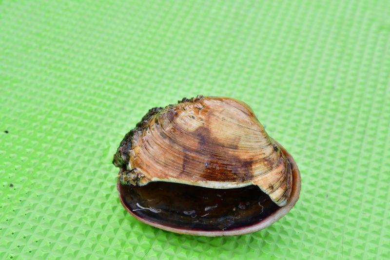 【東京湾の餌木タコ(エギタコ)入門】僕の初タコが大事に抱いていた貝