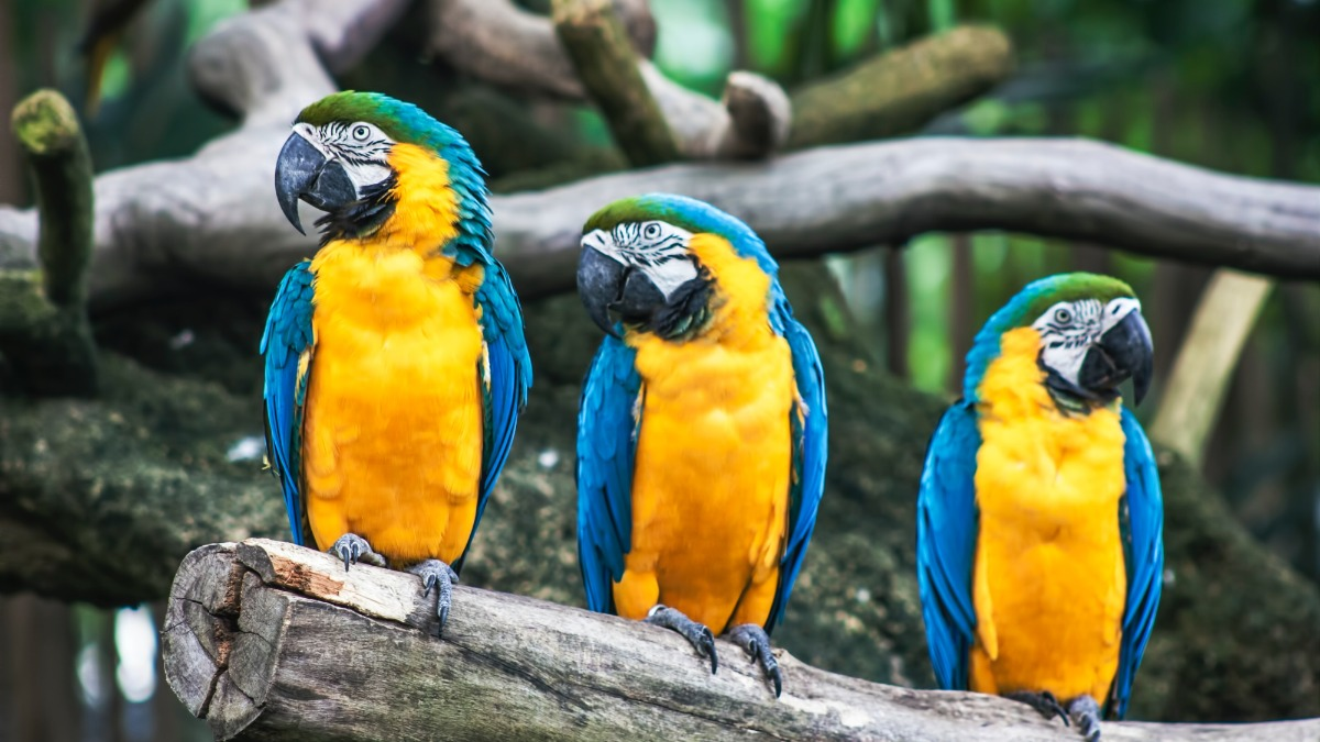 parrots chattering