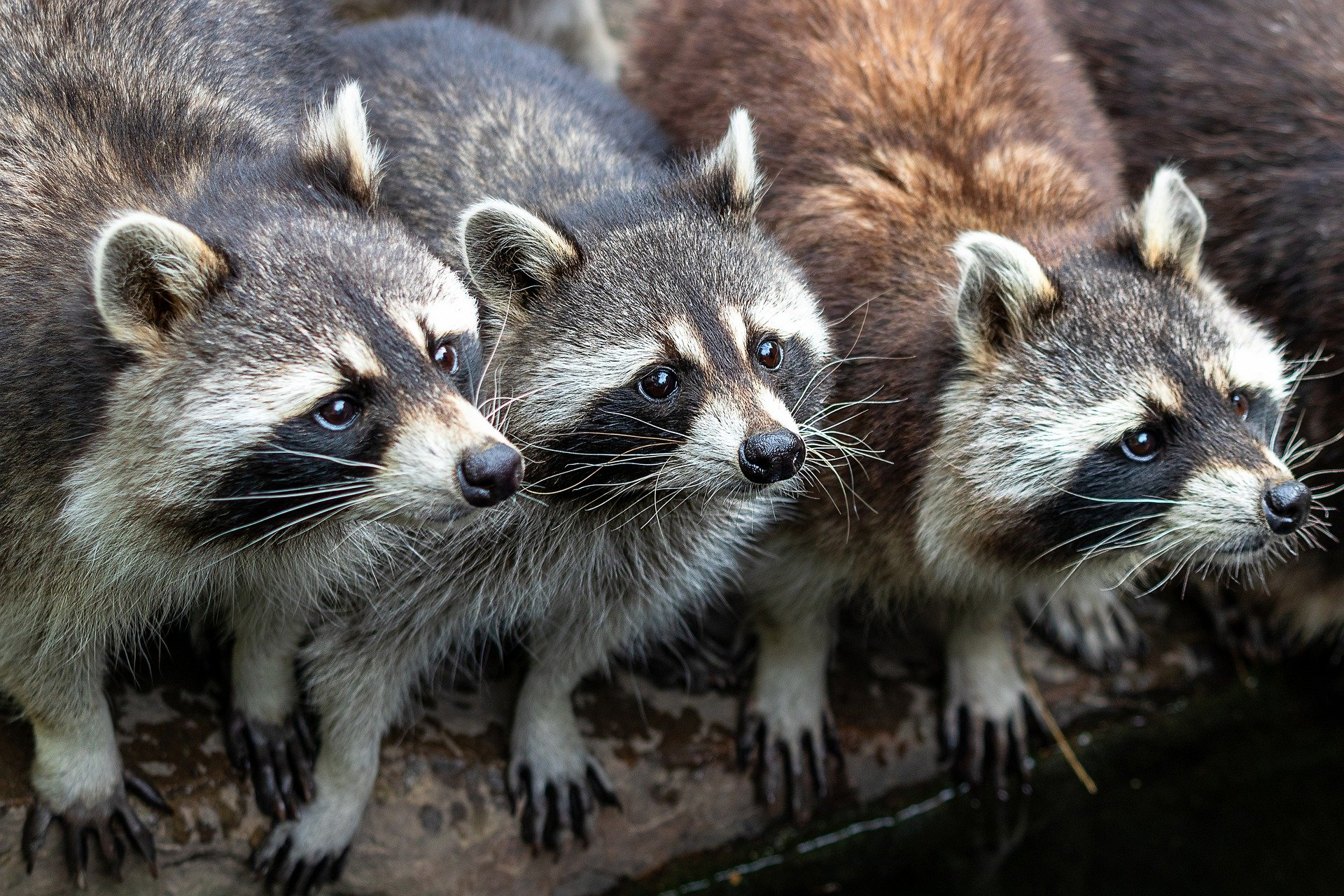 A group of raccoons