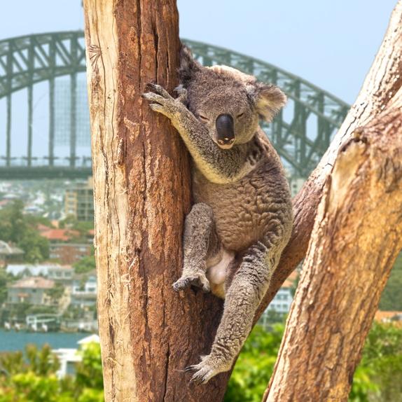 Holla Koala
