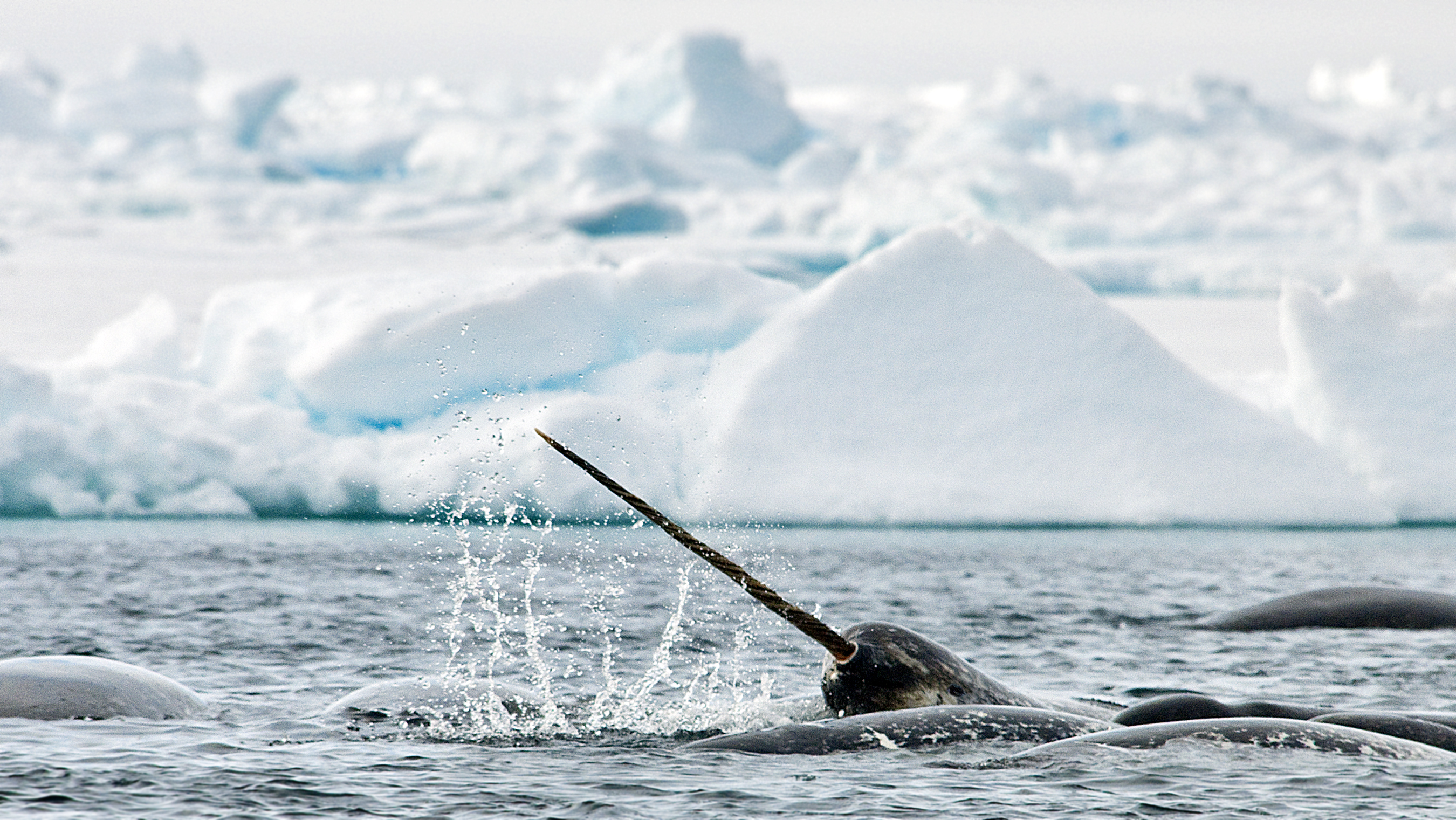 Narwhal_Tusk_AB 1571 by Michelle Valberg-1