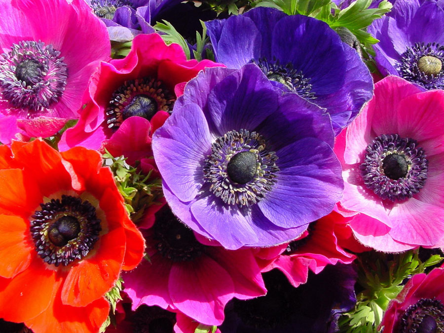 The Meaning of the Anemone Flower