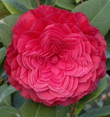 the symbolic meaning of the camellia, Natural flower