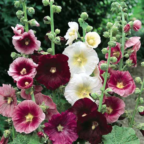 The Meaning and Symbolism of Hollyhock Flower