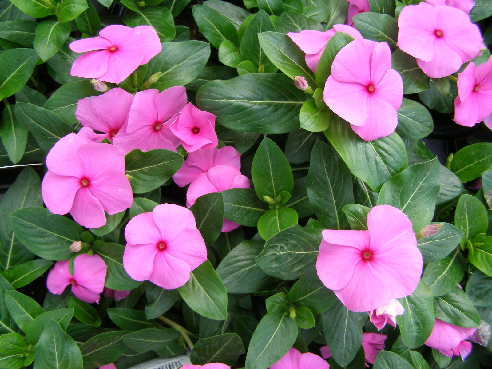 the symbolism behind the periwinkle flower, Natural flower